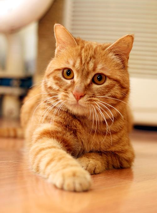 【可爱猫咪找领养】好脾气的黄狸猫——小虎【已领养】