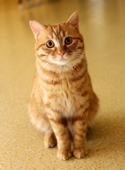 【可爱猫咪找领养】好脾气的黄狸猫——小虎
